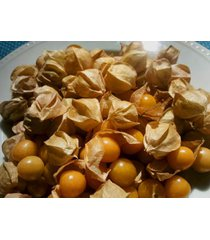 "physalis edulis cape gooseberry ""delicious"" quart plant free ship"