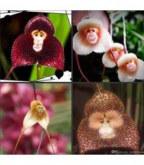 semillas de flores de orquídea con forma de monos
