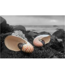 """alan blaustein crescent beach shells 2 canvas art - 27"""" x 33.5"""""""