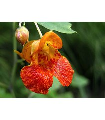 10 - organic - jewelweed impatiens capensis seeds