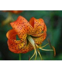 20 turk's cap lily bulbs, lily superbum