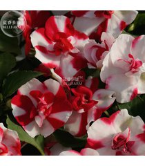 best price impatiens red white flash flower seeds, 20 seeds diy home garden lg