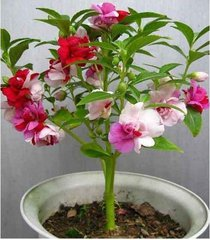 200 - non gmo - mix balsam - touch me nots (impatiens balsamina) fresh seeds