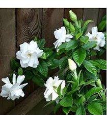 10 gardenia cape jasmine seeds perennial flower seeds beautiful pure white