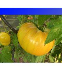 'aunt gertie's gold ' organic yellow beefsteak heirloom tomato seeds 100 seeds