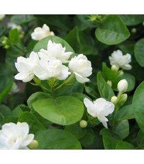 28 pcs gardenia jasminoides cape jasmine heirloom seeds