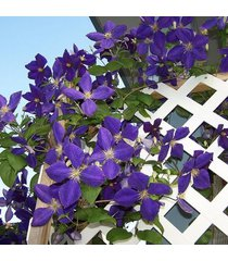 100 pcs garden clematis seed six varieties beautify courtyard terrace purple