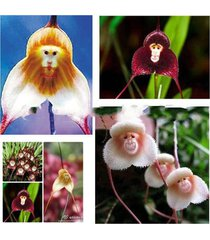 7 kinds monkey face orchids seeds varieties bonsai flower plants garden 100pcs
