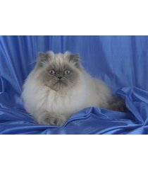 16x20 inches top 100 pedigree cat canvas print colorpoint longhair