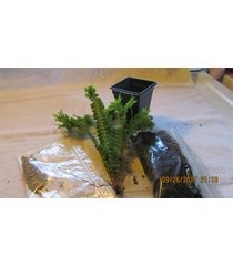 fishtail,petticoat fern starter kit  hanging baskets container plant live plant